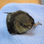 Baby Chimney Swift