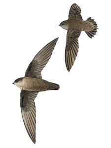 chimney-swift_17137_435x580