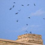 Chimney Swifts descending Joni Denker