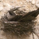 Swift on Nest Inside Silo, Photo by Jim Edlhuber