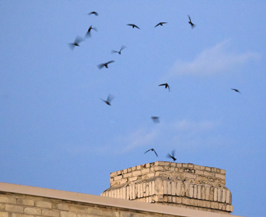 Chimney Swifts circling a roosting chimney.